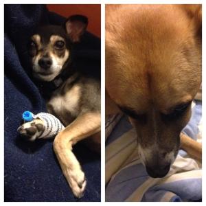 Sick puppies: hemorrhagic gastroenteritis and a tooth abscess