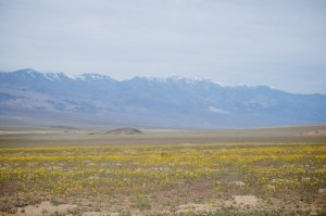 "Wildflowers carpet the desert in Death Valley after ""good"" winter rains"
