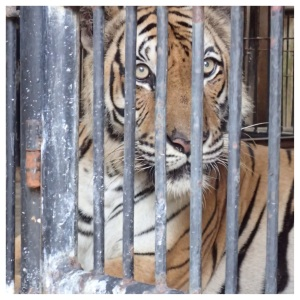 The tigers have large jungle enclosures to roam during the day, and are locked into secured dens at night for their protection.  They can fetch over $100,000 on the black market.
