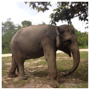 The star of Phnom Tamao: Lucky the Elephant.  You'll have several chances to feed and interact with her throughout the day.