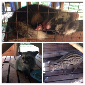 Top: sleepy ferret badger, one of the few animals at Phnom Tamao that I've never seen anywhere else.  Bottom: two different types of civet cats enjoying their meal.